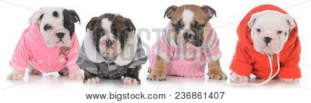 litter of four bulldog puppies wearing clothing on white background