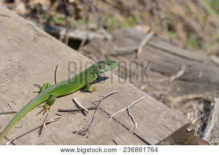 European Green Lizard (lacerta Viridis) Warming Its Body On An April Sun