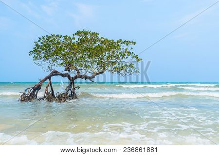 Tree In Paradise, Mangrove Hanging Over A Beach. Caribbean, Cayo Sombrero, Venezuela.tree In Paradis