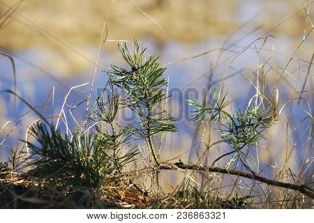 A Small Pine Tree Grows In The Spring In The Forest On Moss, A New Life