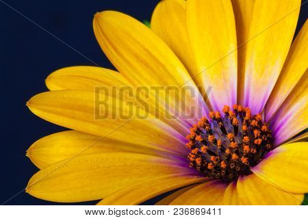 Detail Of Yellow Cape Marigold (dimorphotheca Spp. ) Flower. It Is Also Called The African Daisy. It