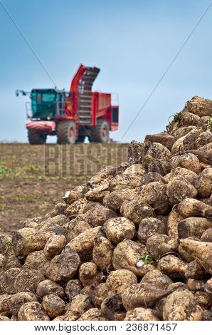 Agricultural Vehicle Harvesting Sugar Beet. Red Combine Harvester On Field.