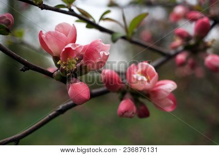 Flowering Cherry Buds On A Tree In A Botanical Garden