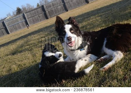 Two Border Collie Puppies Laying In The Grass Outside