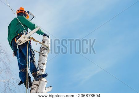 Man Saws With Chainsaw At Height With Insurance. Concept Of Cutting Down Trees With Help Of Lines.