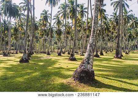Park Of Coconut Trees With Long Trunks. Palm Trees In Tropical Park. Densely Growing Coconut Trees I