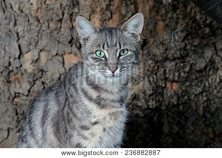 Portrait Of Stray Gray Cat With Green Eyes Looking At Camera