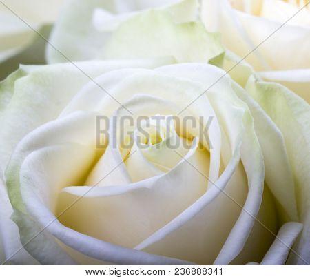 Close-up shot of white rose