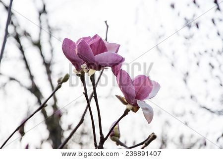 Flowering Pink Buds And Magnolia Flowers Spring