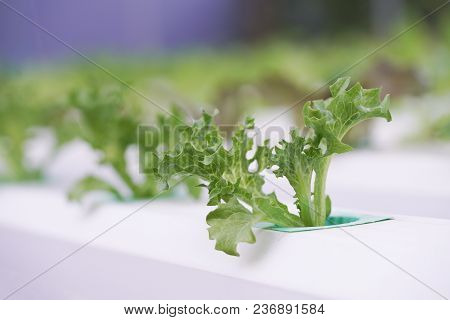 Fresh Organic Green Oak Culture In Aquaponic Or  Hydroponic Farming. Salad Organic Hydroponic Farm,