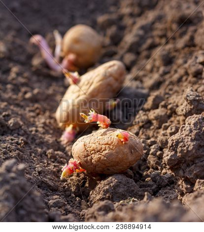 Spring Planting Of Potato Tubers In Earth