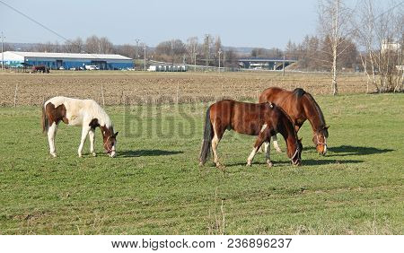 Group Of Three Horses Pasturing On The Meadow