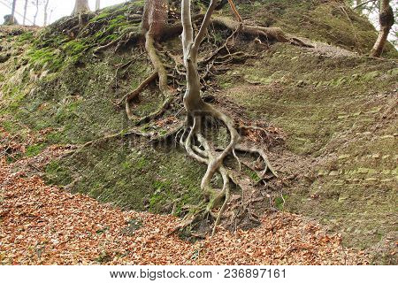 Tree With Revealed Tangled Roots Growing On The Surface Of The Rock, Beskydy Mountains, Czech Republ