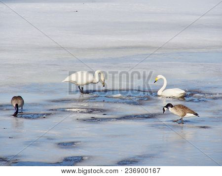 Love Of Swans, Lake In The North Of Sweden