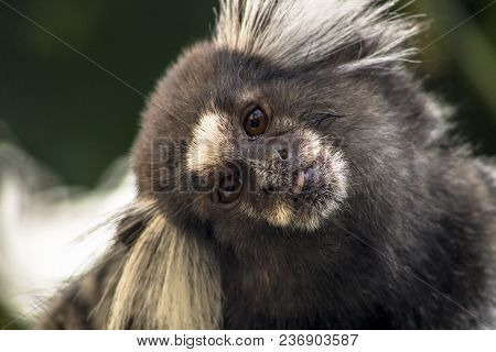 Small Monkey Popularly Known As White-tailed Sagittarius, Callithrix Jacchus, In An Area Of Atlantic