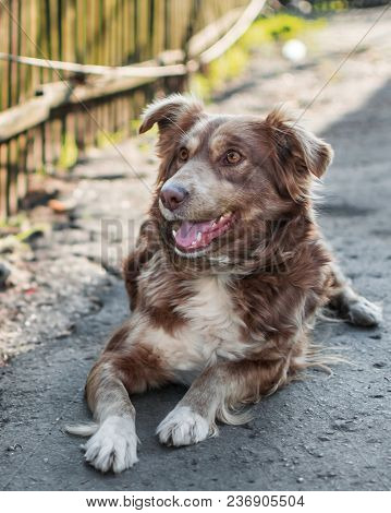 Close-up Portrait Of Beautiful Happy Brown Smiling Dog Lying Outside In Yard On Gray Asphalt Surface