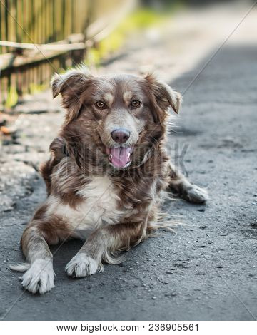 Close-up Portrait Of Beautiful Happy Brown Smiling Dog Lying Outside In Yard Next To Old Wooden Fenc