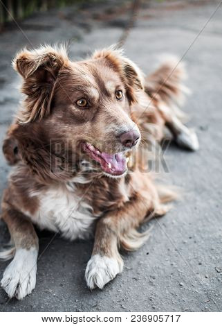 Close-up Portrait Of Front Of Beautiful Brown Smiling Dog Lying Outside In Old Yard.