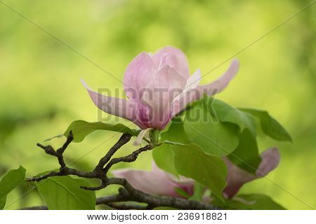 Blossoming Of Magnolia White Flowers In Spring Time, Retro Vintage Hipster Image