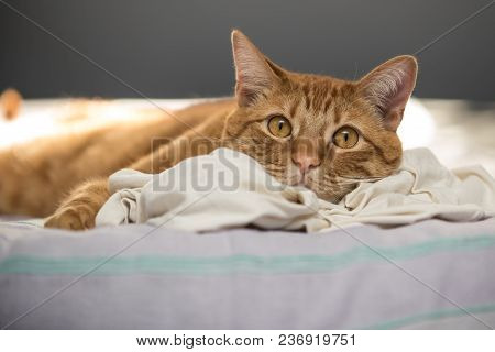 Lazy Orange Tabby Cat Resting Sleep Head On Favorite T-shirt While Taking An Afternoon Nap.