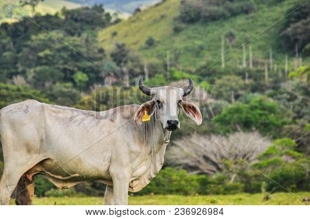 Happy Cow Living In The Greens Of Costa Rica And Looking Towards The Camera