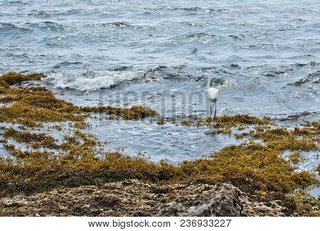 White Little Silk Egret