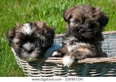 Little Puppies In A Wicker Basket. The Breed Of This Dog Is Called Lhasa Apso.