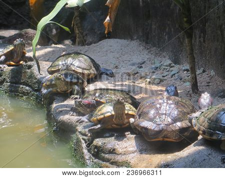 Jakarta, Indonesia - March 24, 2017: A Herd Of Turtles Basking On The Sand In Ragunan Zoo.