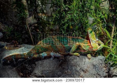 Molting Chameleon With Natural Green Leaves, Close View