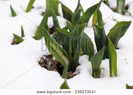 A Few Group Leaves Of Tulips In The Snow. Spring Is Here.
