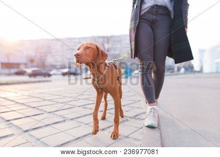 The Owner Walks Around The City With A Dog Of The Magyar Vizsla Breed. A Beautiful Dog Walks On A Le