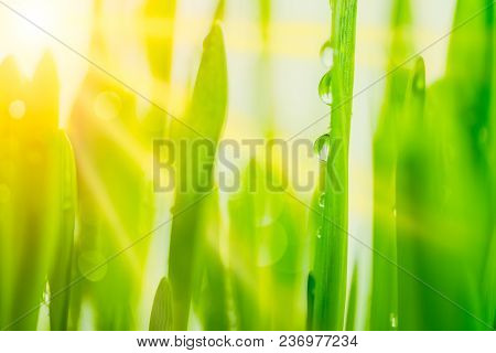 Bright Fresh Vibrant Spring Green Grass Close-up With Sun Rays Between The Leaves.