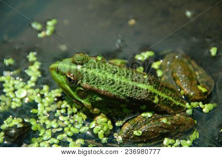 Green frog in the water. Litoria castanea