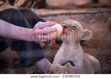 Young Lion Feeding From Young Woman
