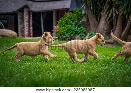 Young Lions Have Fun In Green Garden. Cute Free Animals - Photo With Edit Space