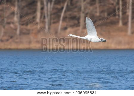 In The Early Morning A Mute Swan Glides Across A Deep Blue Lake. Wings Opened, Feet Up, Neck Stretch
