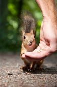 close-up photo of small red fluffy European squirrel eating seeds from human hand in summer forest poster