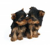 Cute puppy sniffs nose of another puppy. Both are puppies of the Yorkshire Terrier. Isolated on white. poster