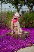 English pointer mix phenotype white dog in black dots with red leather collar with medallion and bandanna on purple delosperma flowers. Photos are toned and with a vignette poster
