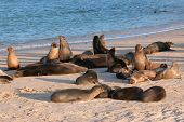 A group of seals drying off on the beach in the evening. The Galapagos Islands. poster