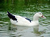 duck swimming.  ** Note: Slight graininess, best at smaller sizes poster