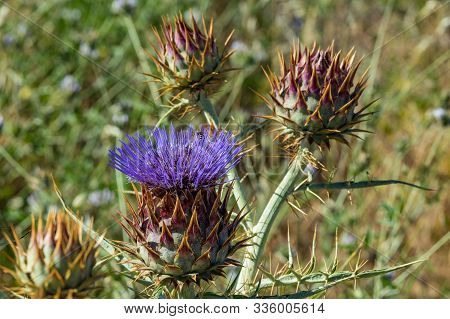 Cardoon. Beautiful Flower Of Purple Canarian Thistle With Bees On It Close-up. Flowering Thistle Or