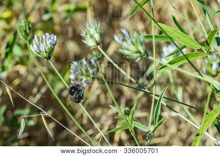Big Black Shaggy Bumblebee Sitting On A Clover Flower Bumblebee Sucking Nectar From A Purpule Clover
