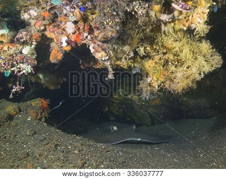 Stingray Sheltering Under The Shipwreck Liberty At Tulamben On Bali