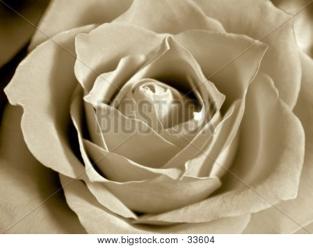 White Sepia Rose