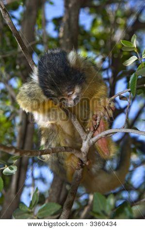 Sleeping Squirrel Monkey