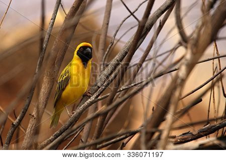 The Southern Masked Weaver Or African Masked Weaver (ploceus Velatus) Sitting In The Grass. Southern