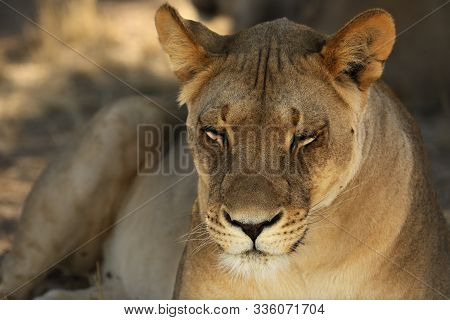 Lioness (panthera Leo)  In Kalahari Desert And Looking For The Rest Of Her Pride In Morning Sun. Dry