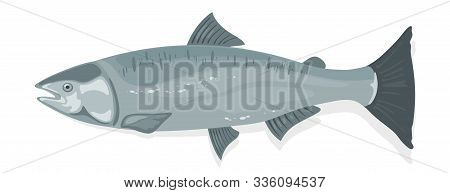 Atlantic Salmon With Fusiform Body And Silver-blue Sheen. Oily Red Fish With Rich Content Of Protein