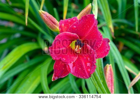Red Daylily Closeup In The Ground. Daylily With Drops Of Water From The Rain. Beautiful Fuchsia Flow